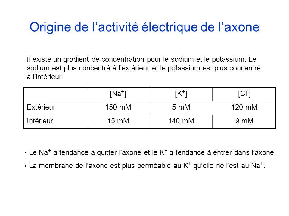 [Na + ][K + ][Cl - ] Extérieur150 mM5 mM120 mM Intérieur15 mM140 mM9 mM Il existe un gradient de concentration pour le sodium et le potassium. Le sodi