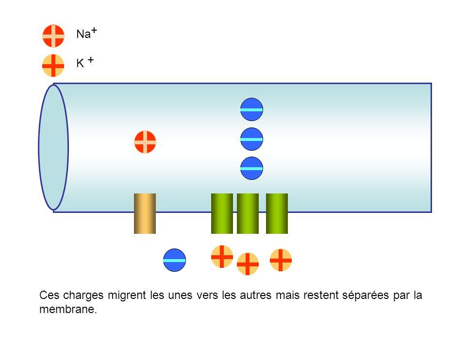 Na + K + La P K est supérieur à P Na : sortie de K + plus forte que lentrée de Na +. Puisque chaque ion porte une charge positive, il se produit une a
