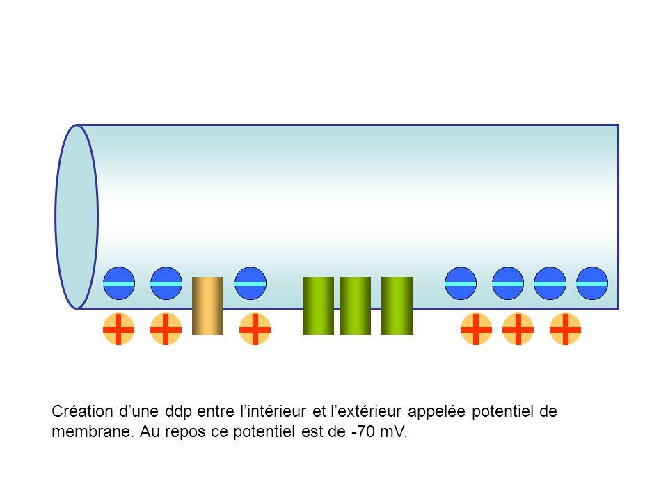Création dune ddp entre lintérieur et lextérieur appelée potentiel de membrane. Au repos ce potentiel est de -70 mV.