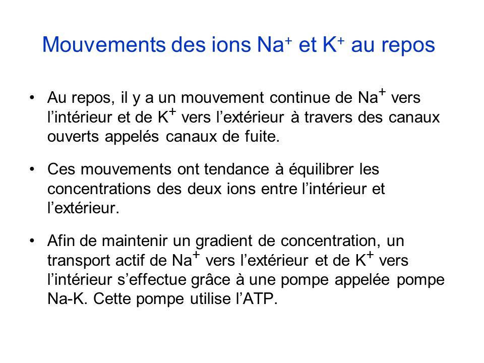 Mouvements des ions Na + et K + au repos Au repos, il y a un mouvement continue de Na + vers lintérieur et de K + vers lextérieur à travers des canaux