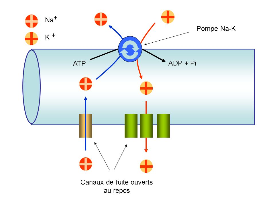 Na + K + ATP ADP + Pi Canaux de fuite ouverts au repos Pompe Na-K