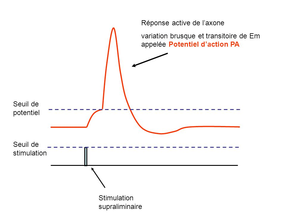 Stimulation supraliminaire Réponse active de laxone variation brusque et transitoire de Em appelée Potentiel daction PA Seuil de stimulation Seuil de