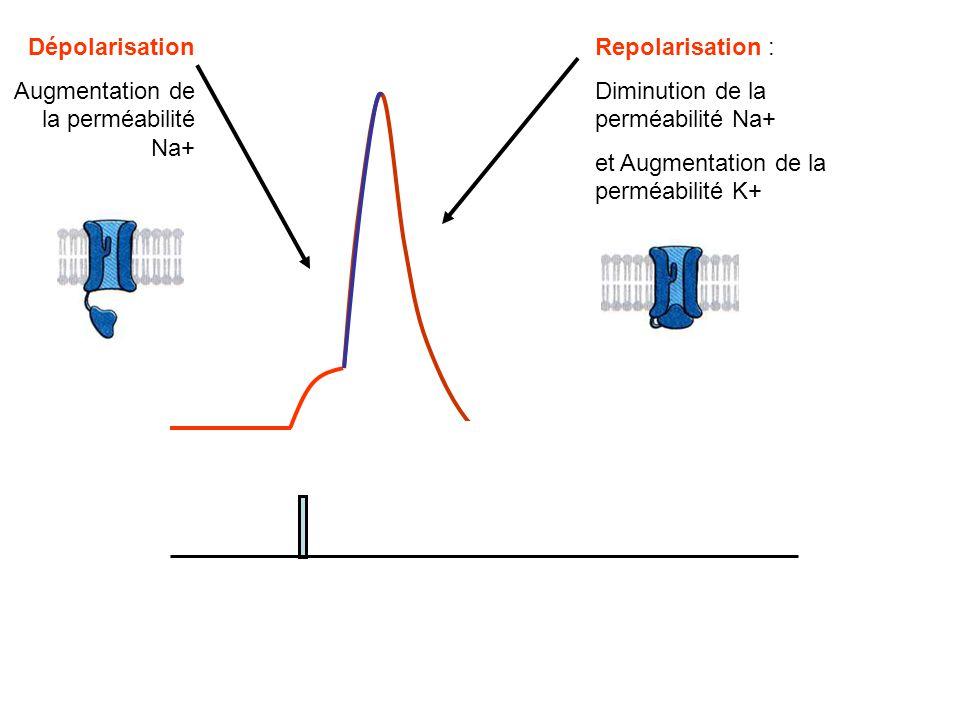 Repolarisation : Diminution de la perméabilité Na+ et Augmentation de la perméabilité K+ Dépolarisation Augmentation de la perméabilité Na+