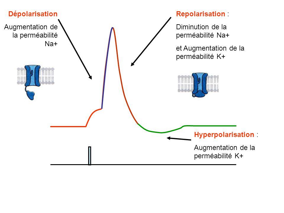 Repolarisation : Diminution de la perméabilité Na+ et Augmentation de la perméabilité K+ Hyperpolarisation : Augmentation de la perméabilité K+ Dépola