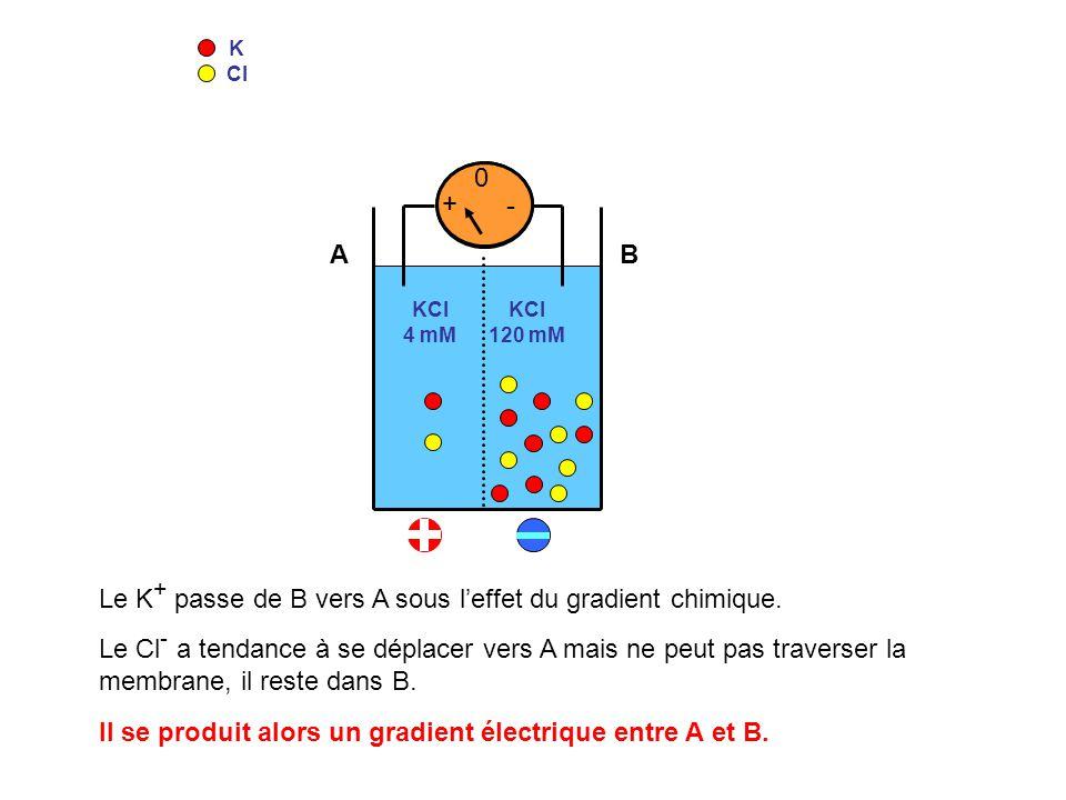 K Cl KCl 4 mM KCl 120 mM 0 - + 0 - + Le K + passe de B vers A sous leffet du gradient chimique. Le Cl - a tendance à se déplacer vers A mais ne peut p
