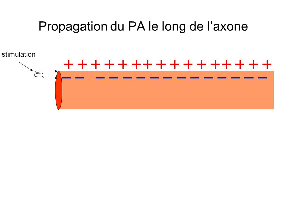 Propagation du PA le long de laxone stimulation