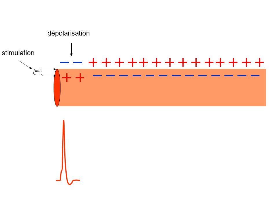 dépolarisation stimulation