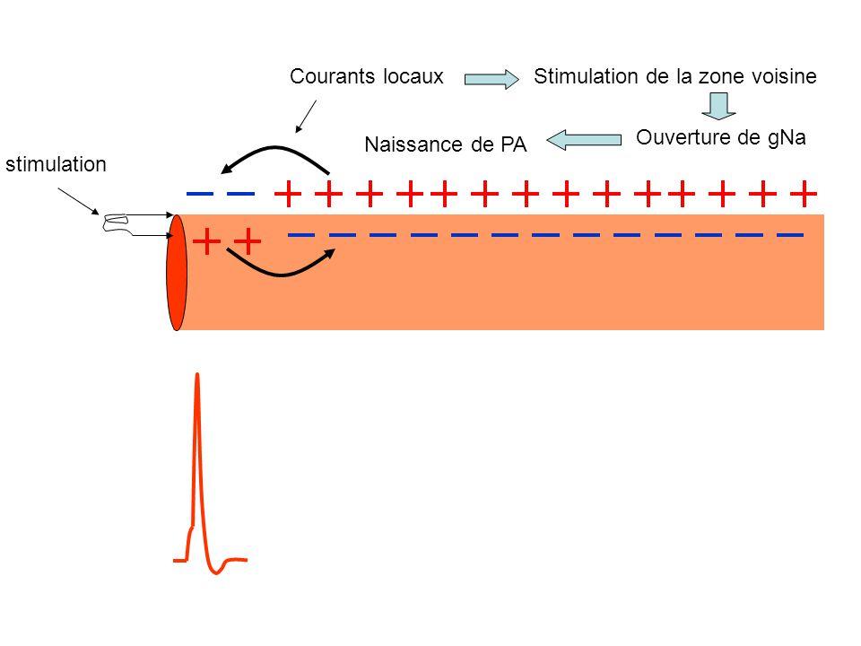 stimulation Courants locauxStimulation de la zone voisine Ouverture de gNa Naissance de PA
