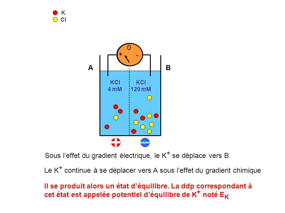 K Cl KCl 4 mM KCl 120 mM 0 + - 0 - + Sous leffet du gradient électrique, le K + se déplace vers B Le K + continue à se déplacer vers A sous leffet du
