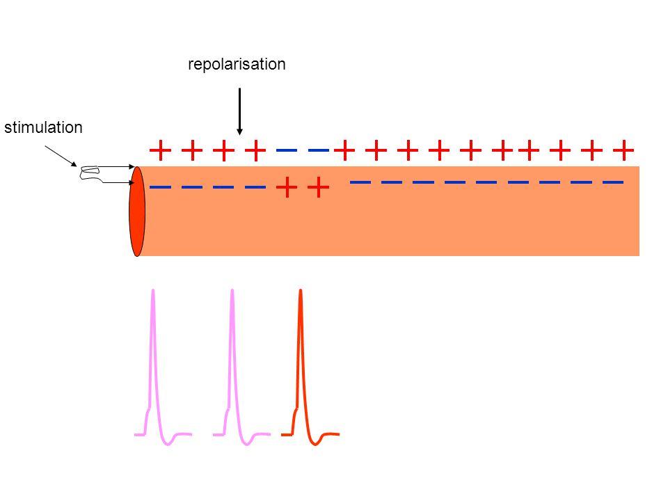 stimulation repolarisation