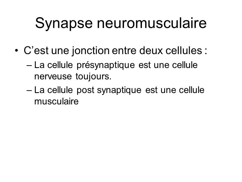 Synapse neuromusculaire Cest une jonction entre deux cellules : –La cellule présynaptique est une cellule nerveuse toujours. –La cellule post synaptiq