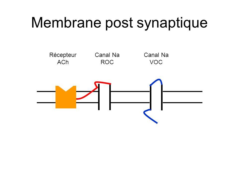 Membrane post synaptique Récepteur ACh Canal Na ROC Canal Na VOC
