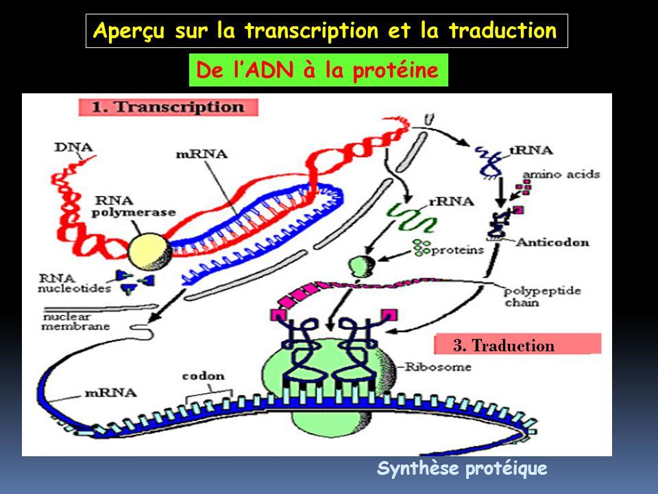 De lADN à la protéine Synthèse protéique Aperçu sur la transcription et la traduction 3. Traduction