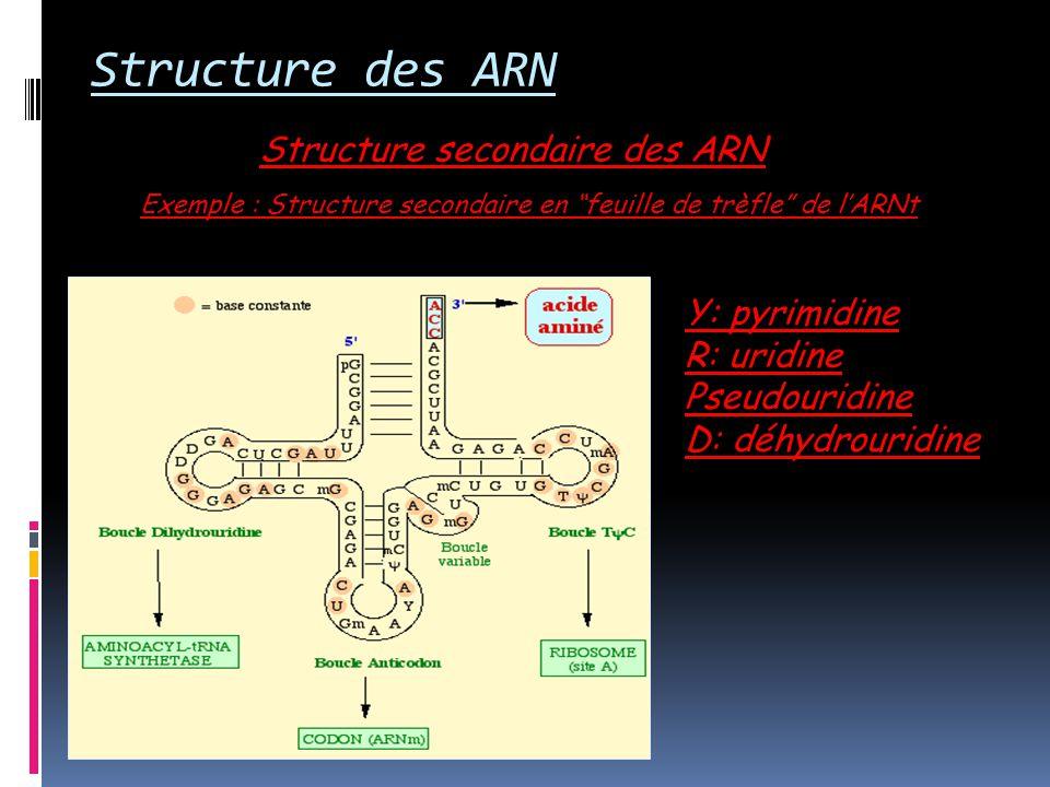Structure secondaire des ARN Structure des ARN Exemple : Structure secondaire en feuille de trèfle de lARNt Y: pyrimidine R: uridine Pseudouridine D: