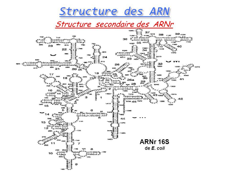 ARNr 16S de E. coli Structure secondaire des ARNr Structure des ARN