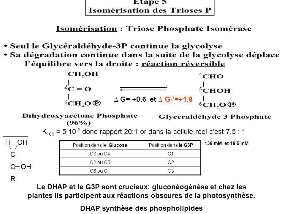 G= +0.6 et G ° =+1.8 Le DHAP et le G3P sont crucieux: gluconéogénèse et chez les plantes ils participent aux réactions obscures de la photosynthèse. D