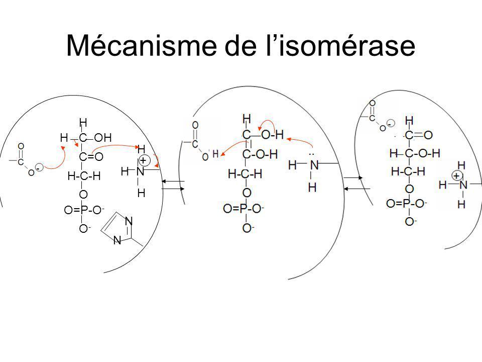 Mécanisme de lisomérase N N H OHHC C=O O O=P-O - H-C-H O-O- H H N H +