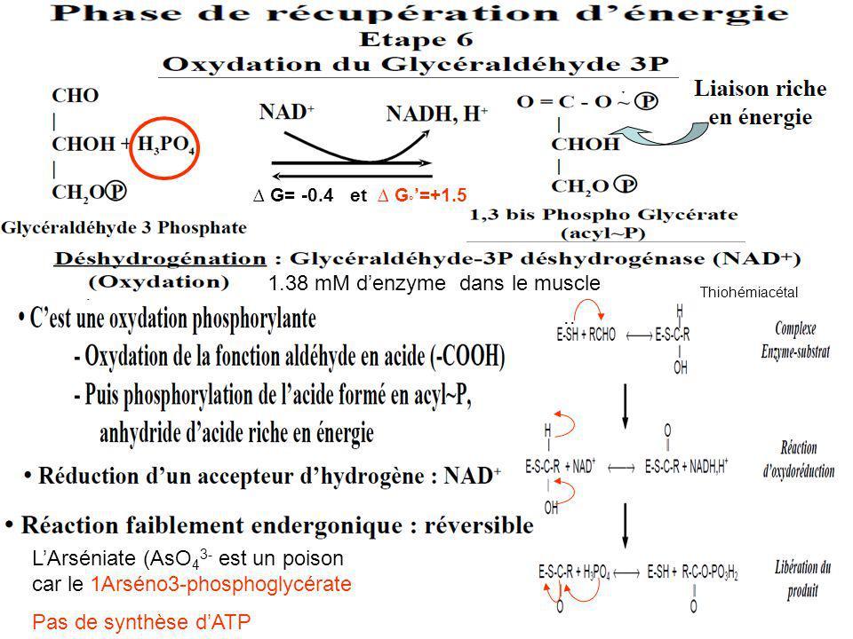 G= -0.4 et G ° =+1.5.. Thiohémiacétal LArséniate (AsO 4 3- est un poison car le 1Arséno3-phosphoglycérate Pas de synthèse dATP 1.38 mM denzyme dans le