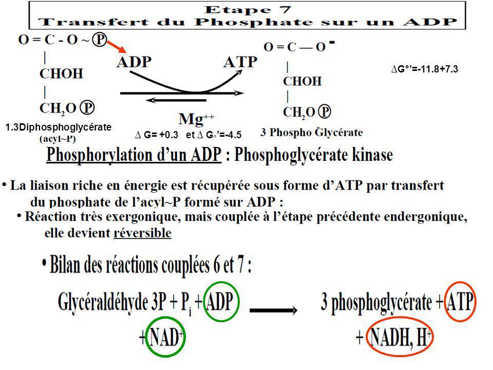 G= +0.3 et G ° =-4.5 1.3Diphosphoglycérate G°=-11.8+7.3