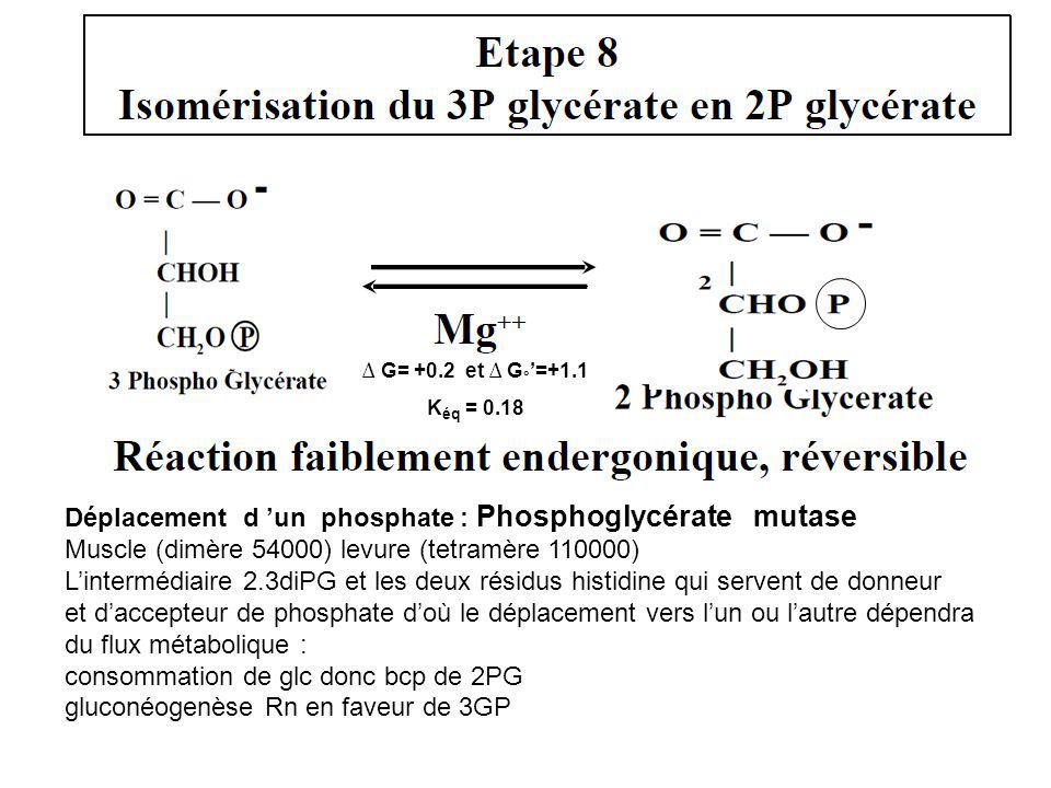 Déplacement d un phosphate : Phosphoglycérate mutase Muscle (dimère 54000) levure (tetramère 110000) Lintermédiaire 2.3diPG et les deux résidus histid