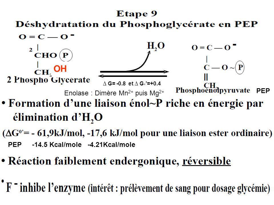 G= -0.8 et G ° =+0.4 PEP -14.5 Kcal/mole -4.21Kcal/molePEP Enolase : Dimère Mn 2+ puis Mg 2+ OH