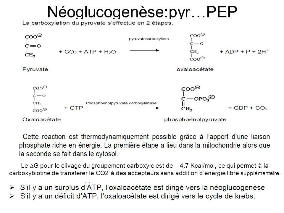 Néoglucogenèse:pyr…PEP Le G pour le clivage du groupement carboxyle est de – 4,7 Kcal/mol, ce qui permet à la carboxybiotine de transférer le CO2 à de