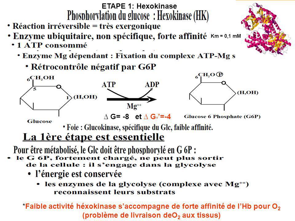 G= -8 et G ° =-4 Km = 0,1 mM *Faible activité héxokinase saccompagne de forte affinité de lHb pour O 2 (problème de livraison deO 2 aux tissus) ETAPE