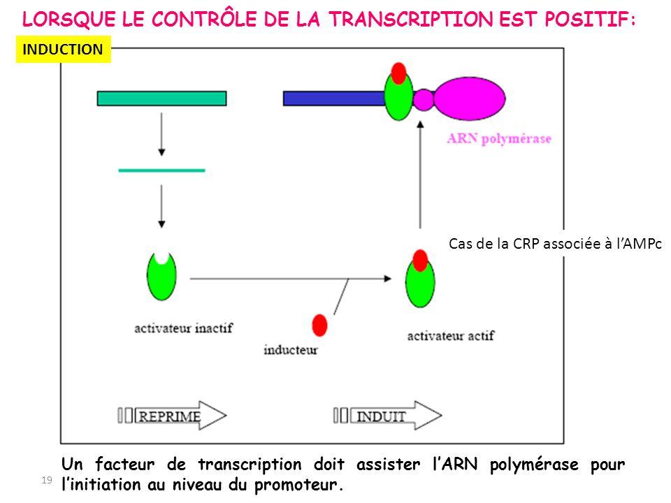 19 INDUCTION Cas de la CRP associée à lAMPc LORSQUE LE CONTRÔLE DE LA TRANSCRIPTION EST POSITIF: Un facteur de transcription doit assister lARN polymé