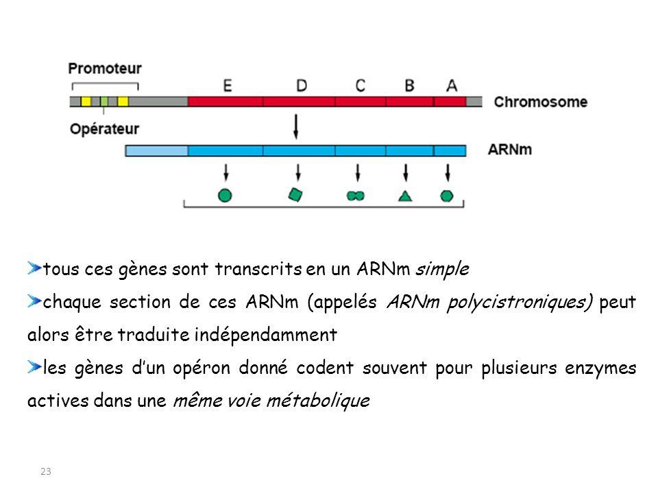 23 tous ces gènes sont transcrits en un ARNm simple chaque section de ces ARNm (appelés ARNm polycistroniques) peut alors être traduite indépendamment
