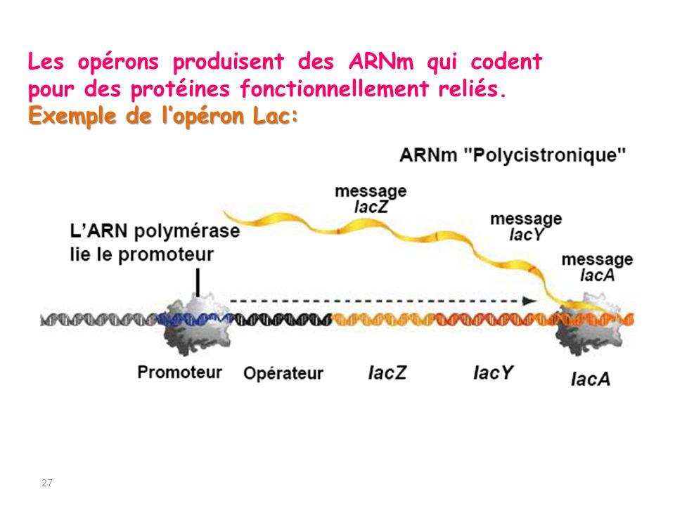 27 Les opérons produisent des ARNm qui codent pour des protéines fonctionnellement reliés. Exemple de lopéron Lac: