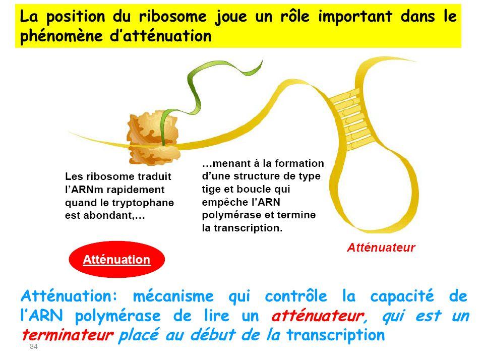 84 Atténuation: mécanisme qui contrôle la capacité de lARN polymérase de lire un atténuateur, qui est un terminateur placé au début de la transcriptio