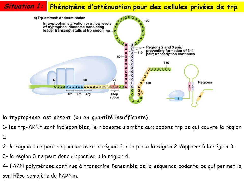 85 Phénomène datténuation pour des cellules privées de trp Situation 1: le tryptophane est absent (ou en quantité insuffisante): 1- les trp-ARNt sont