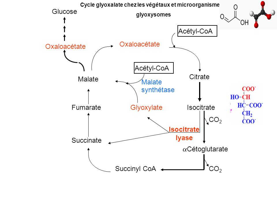 Acétyl-CoA Citrate Isocitrate CO 2 Cétoglutarate CO 2 Acétyl-CoA Glyoxylate Succinyl CoA Succinate Isocitrate lyase Fumarate Malate Oxaloacétate Gluco
