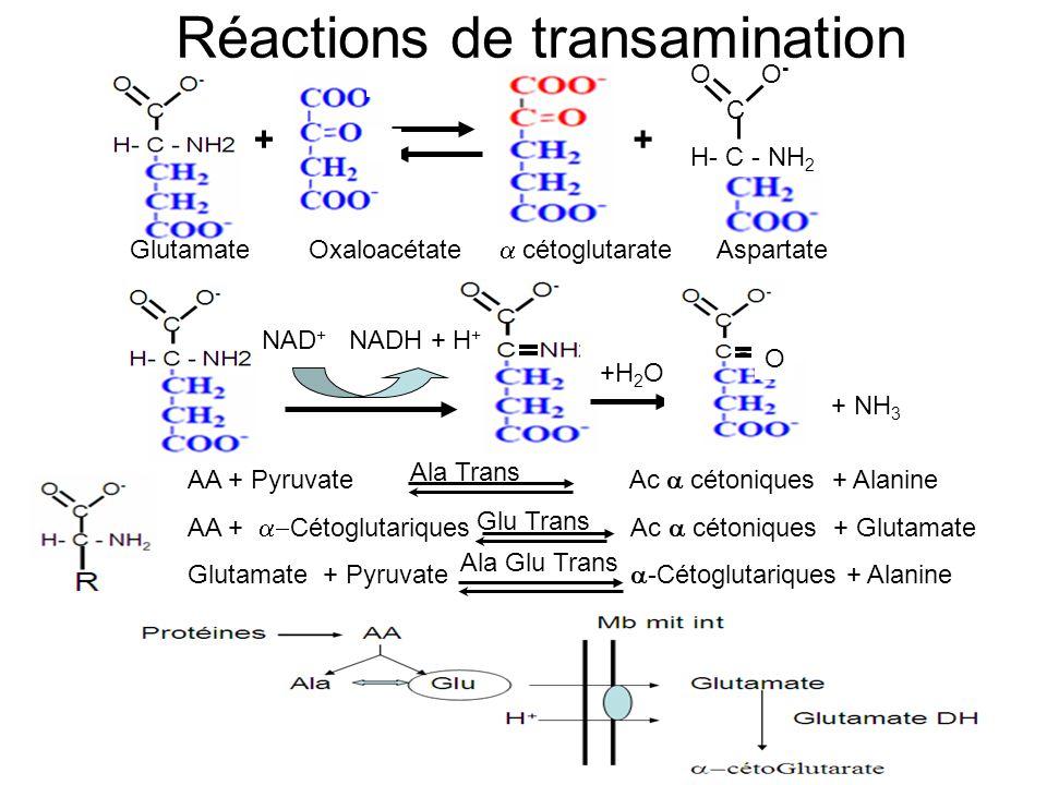Réactions de transamination + O O - C H- C - NH 2 + Glutamate Oxaloacétate cétoglutarate Aspartate NAD + NADH + H + +H 2 O O + NH 3 AA + Pyruvate Ac c