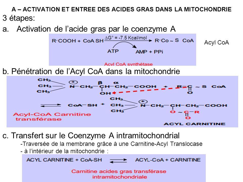 A – ACTIVATION ET ENTREE DES ACIDES GRAS DANS LA MITOCHONDRIE 3 étapes: a.Activation de lacide gras par le coenzyme A b. Pénétration de lAcyl CoA dans