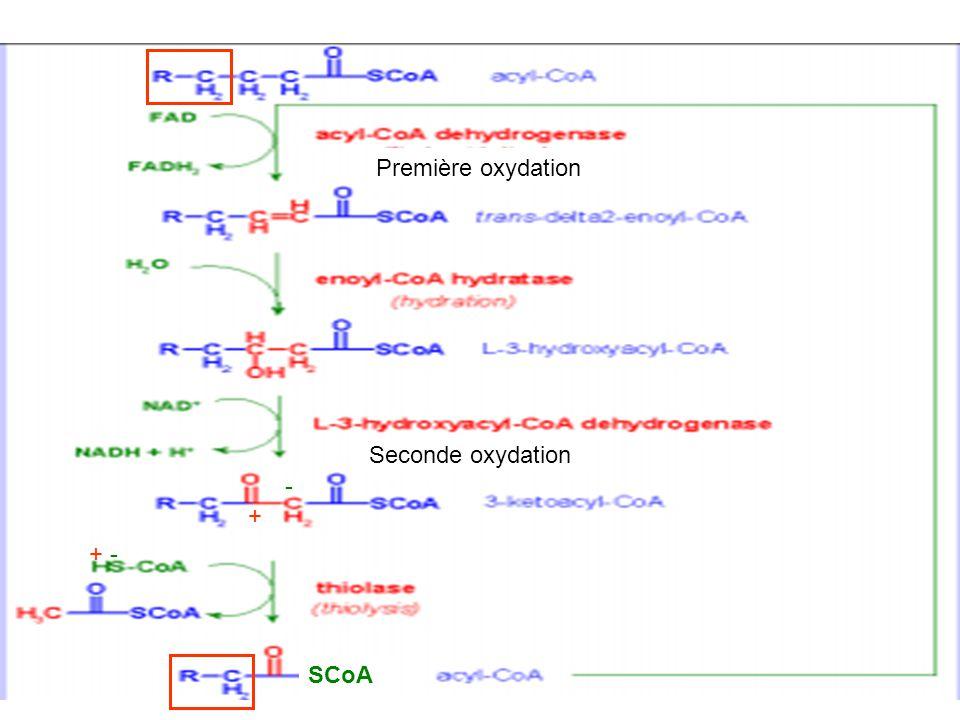 Première oxydation Seconde oxydation + - - + SCoA
