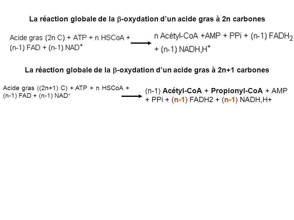 La réaction globale de la -oxydation dun acide gras à 2n carbones La réaction globale de la -oxydation dun acide gras à 2n+1 carbones Acide gras ((2n+