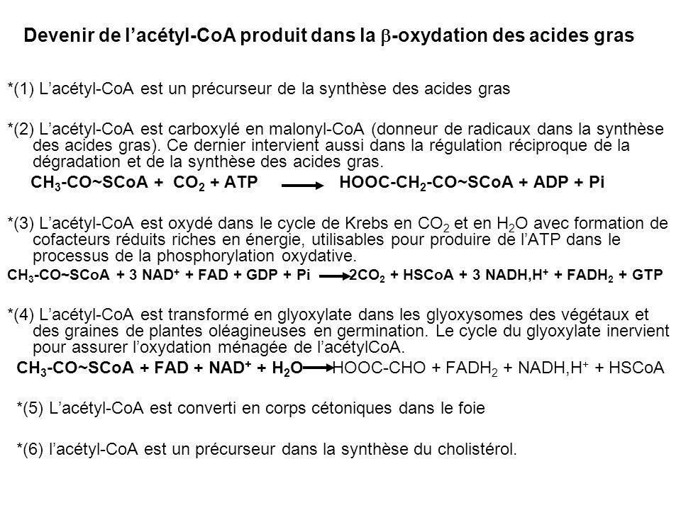 Devenir de lacétyl-CoA produit dans la -oxydation des acides gras *(1) Lacétyl-CoA est un précurseur de la synthèse des acides gras *(2) Lacétyl-CoA e