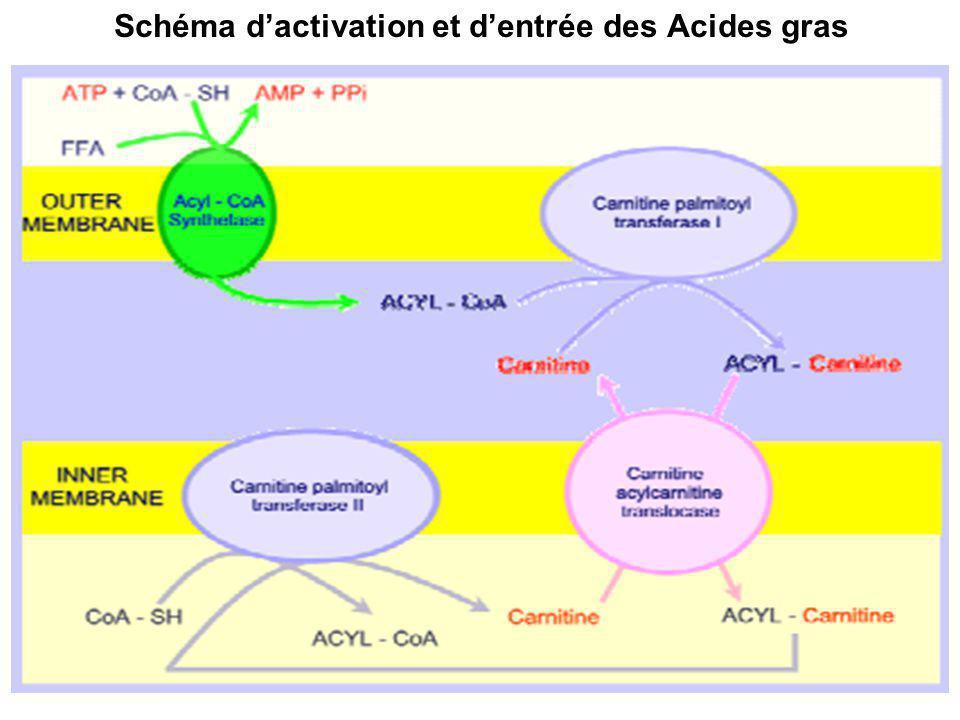 Schéma dactivation et dentrée des Acides gras