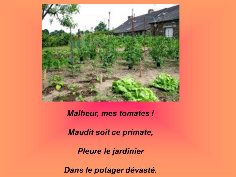 Malheur, mes tomates ! Maudit soit ce primate, Pleure le jardinier Dans le potager dévasté.