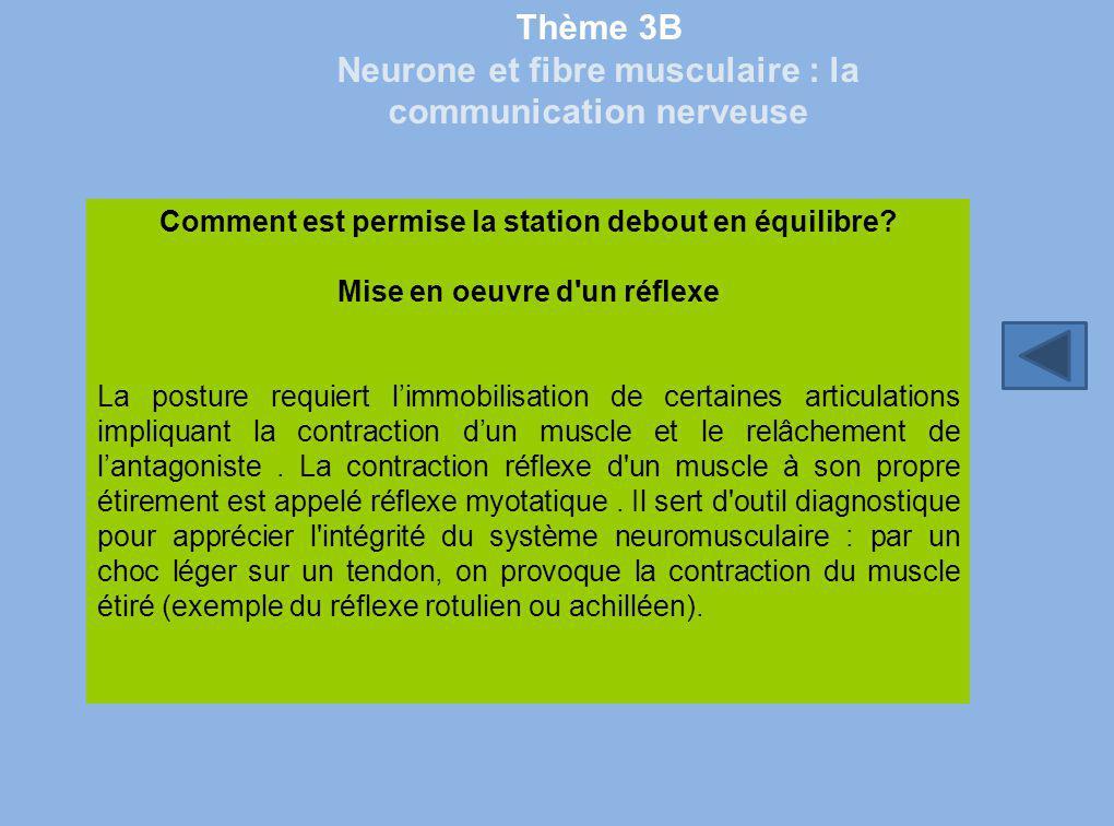 Thème 3B Neurone et fibre musculaire : la communication nerveuse Comment est permise la station debout en équilibre? Mise en oeuvre d'un réflexe La po