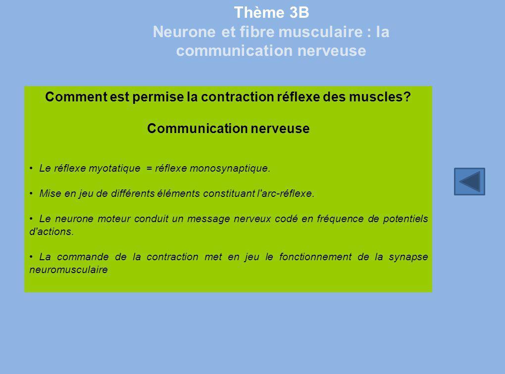 Thème 3B Neurone et fibre musculaire : la communication nerveuse Comment est permise la contraction réflexe des muscles? Communication nerveuse Le réf