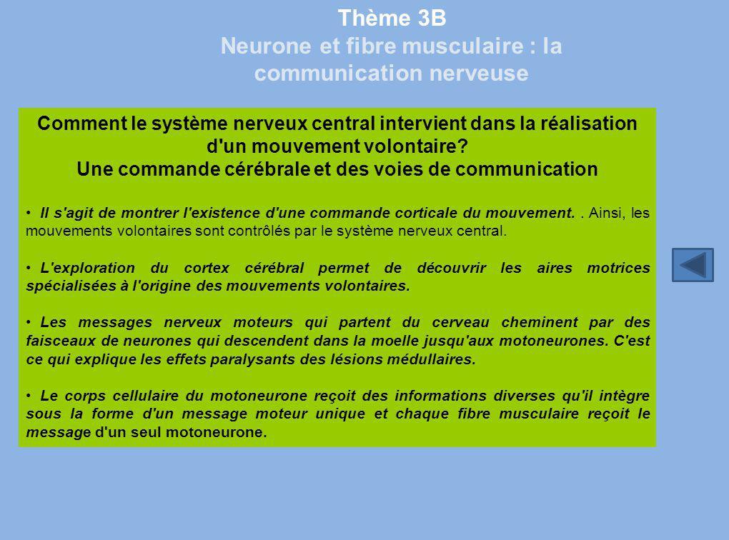 Thème 3B Neurone et fibre musculaire : la communication nerveuse Comment le système nerveux central intervient dans la réalisation d'un mouvement volo