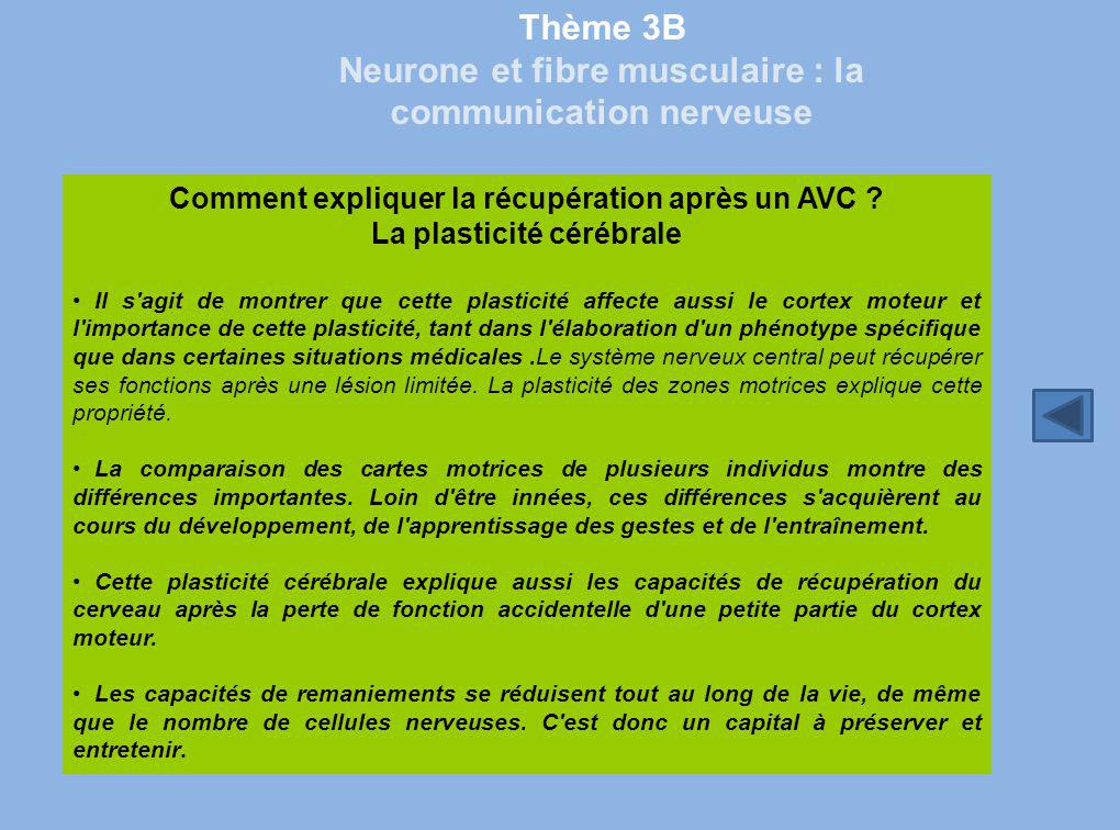 Thème 3B Neurone et fibre musculaire : la communication nerveuse Comment expliquer la récupération après un AVC ? La plasticité cérébrale Il s'agit de