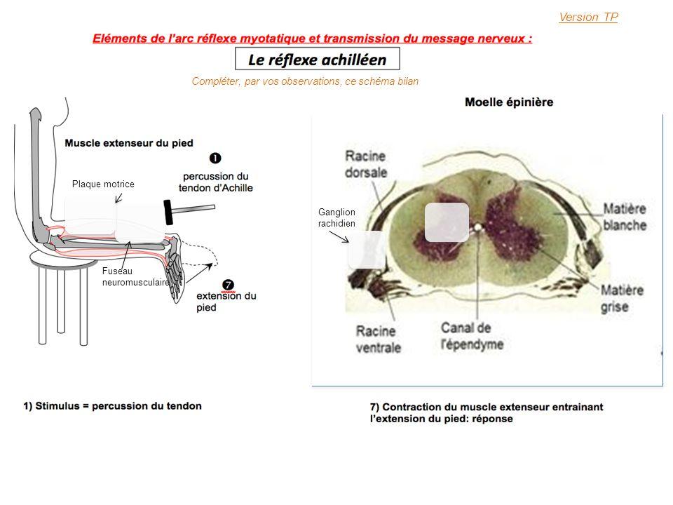 Version TP Compléter, par vos observations, ce schéma bilan Ganglion rachidien Fuseau neuromusculaire Plaque motrice