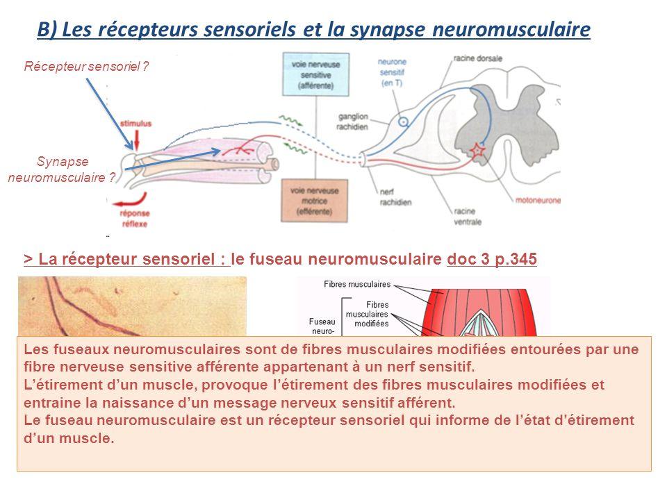 B) Les récepteurs sensoriels et la synapse neuromusculaire > La récepteur sensoriel : le fuseau neuromusculaire doc 3 p.345 Récepteur sensoriel ? Syna