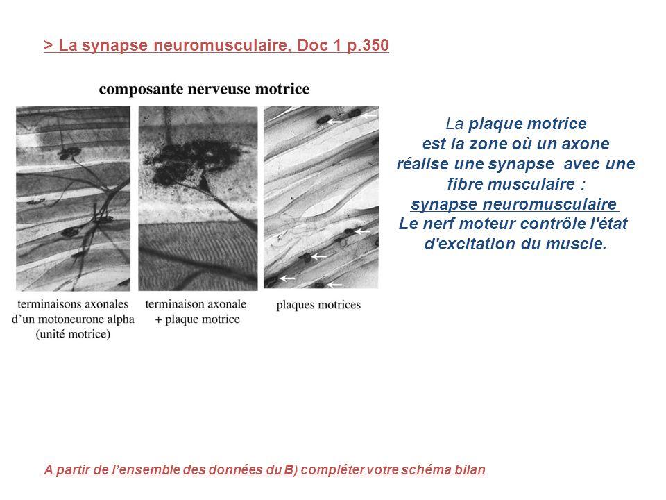 > La synapse neuromusculaire, Doc 1 p.350 La plaque motrice est la zone où un axone réalise une synapse avec une fibre musculaire : synapse neuromuscu