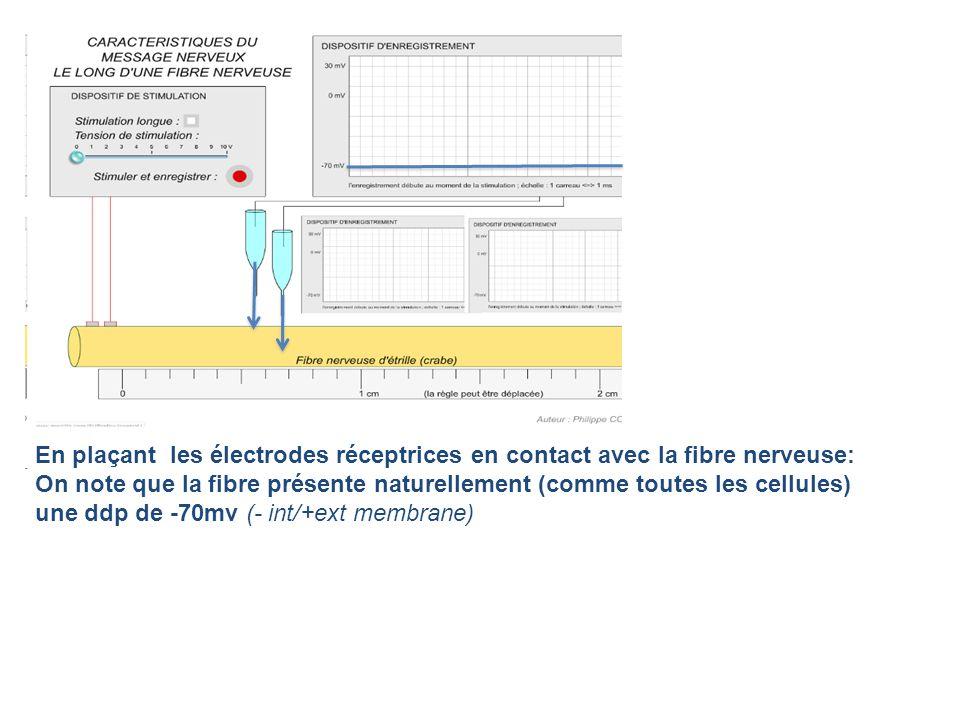 En plaçant les électrodes réceptrices en contact avec la fibre nerveuse: On note que la fibre présente naturellement (comme toutes les cellules) une d