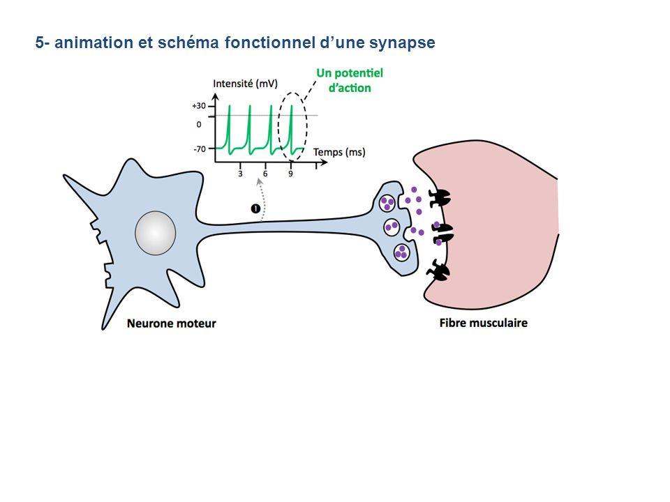 5- animation et schéma fonctionnel dune synapse