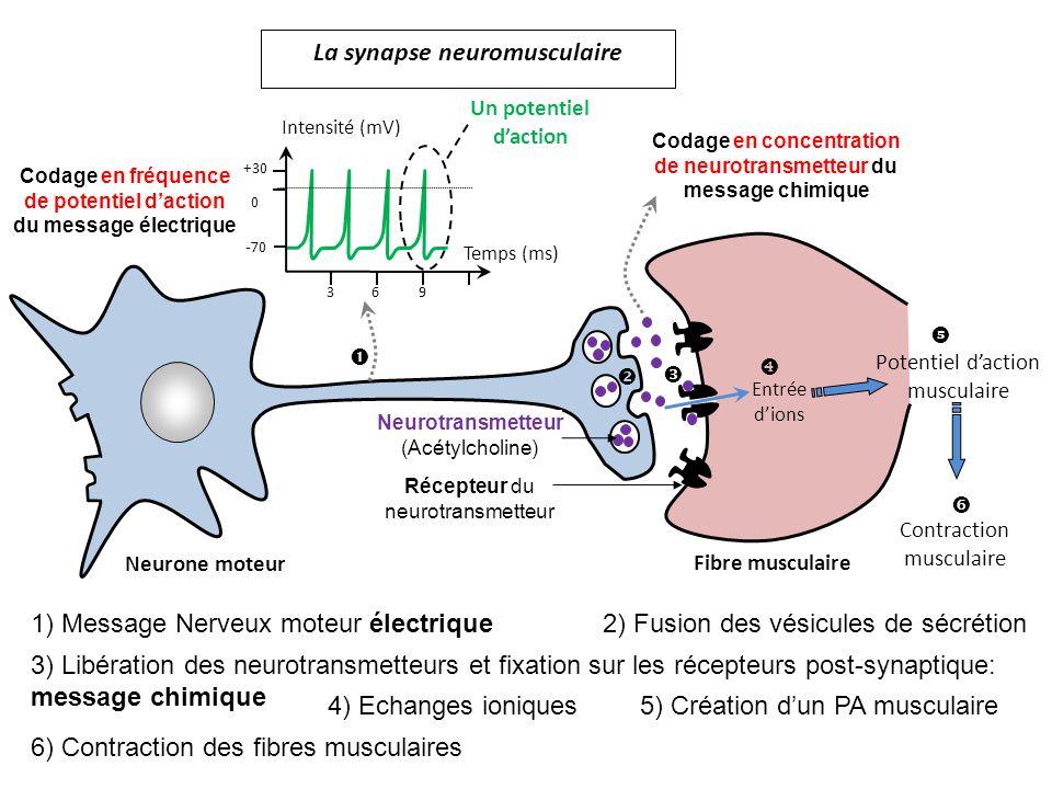 Neurone moteur Fibre musculaire Codage en fréquence de potentiel daction du message électrique Codage en concentration de neurotransmetteur du message